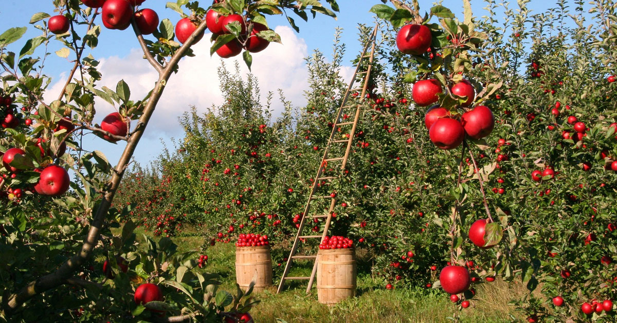 Apple tree orchard without farm worker