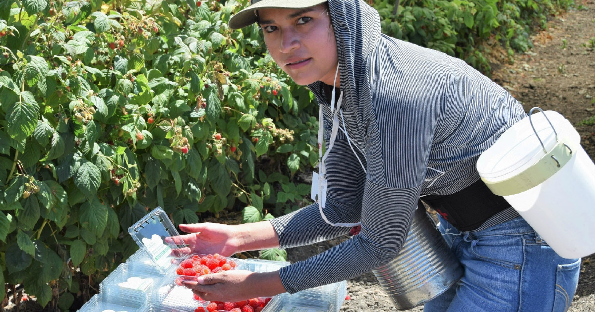 Agricultural worker packages berries