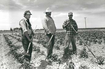 Three farmworkers working the field