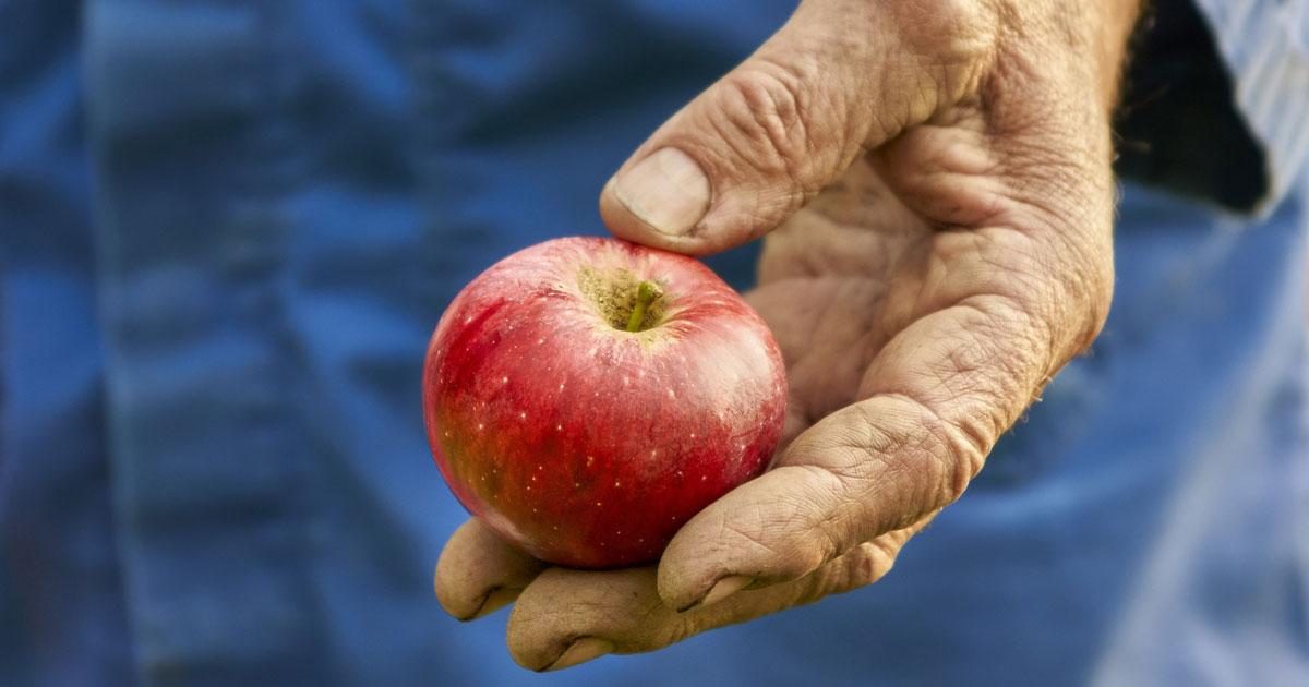 Farmworker's hand holding apple
