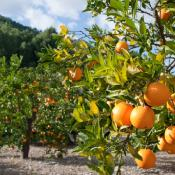 Orange trees in an orchard