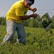 blueberry harvest