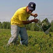 Farmworker harvesting blueberries