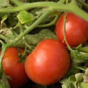 Summer = Tomatoes! How to Keep Tomato Workers Safe and Healthy