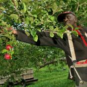 Farmworker harvests apples