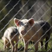 Pigs behind fence