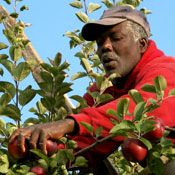 farmworker picking apples