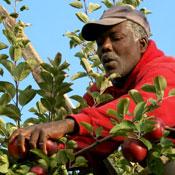 farmworker picking apples