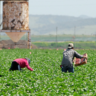 Farmworkers work in the heat of the day
