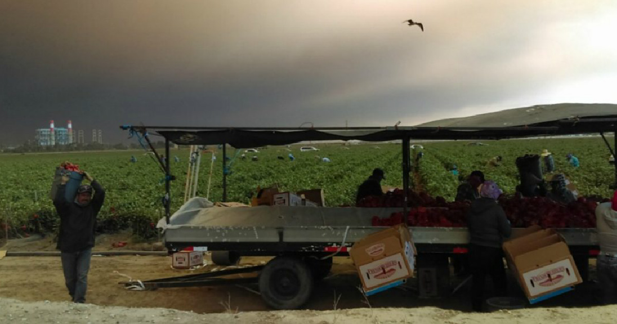 Farmworkers working in agricultural field with heavy smoke in the air. Photo taken by Central Coast Alliance United for a Sustainable Economy