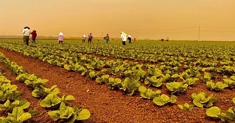 Farmworkers in the field with heavy smoke in the sky