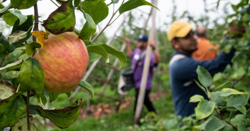 Workers harvesting apples