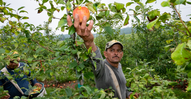 Farmworkers harvest in orchard