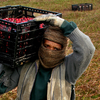 A farmworker carrying cranberries