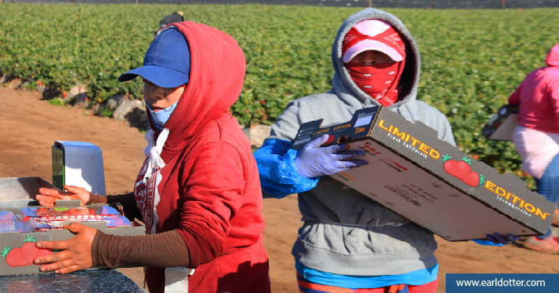 Farmworkers wearing protective gear while working