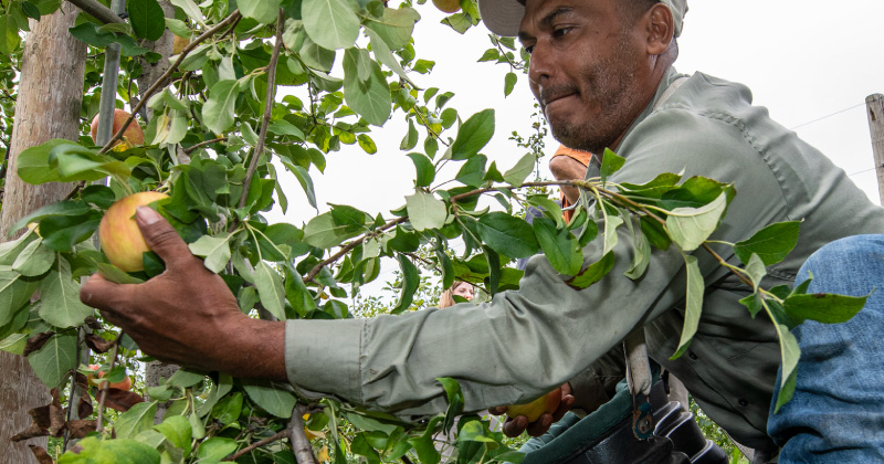 An agricultural worker harvesting apples