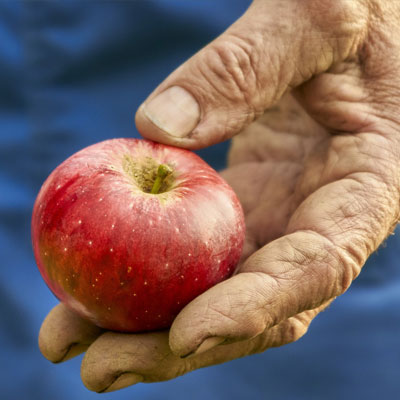 Farmworker's hand holding apple