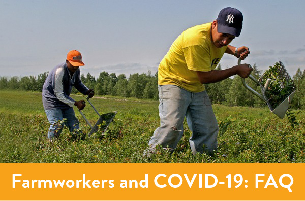 Farmworkers harvesting blueberries