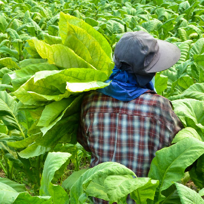 Worker in Tobacco field