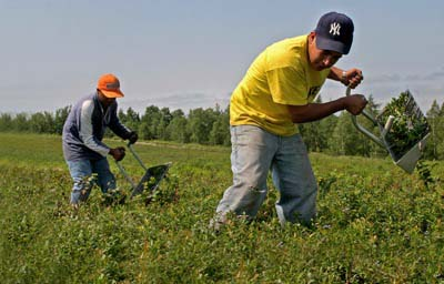 PHOTO: Farmworkers working in blueberries.