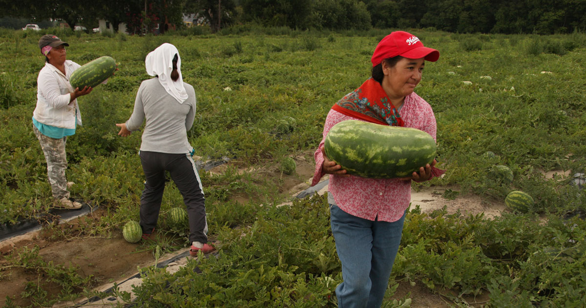 woman in field carrying watermelon